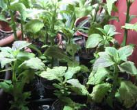 Salvia Divinorum Pflanze